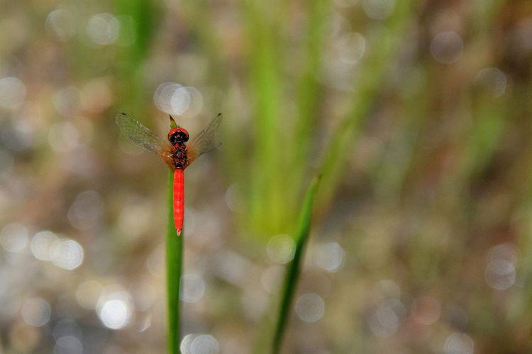 ハッチョウトンボ 日本最小のトンボ(male) minimum dragonfly in Japan. Scarlet Dwarf Northern Pygmyfly Tiny Dragonfly Dragonfly Wetlands Insect Nature Wildlife Red In Japan