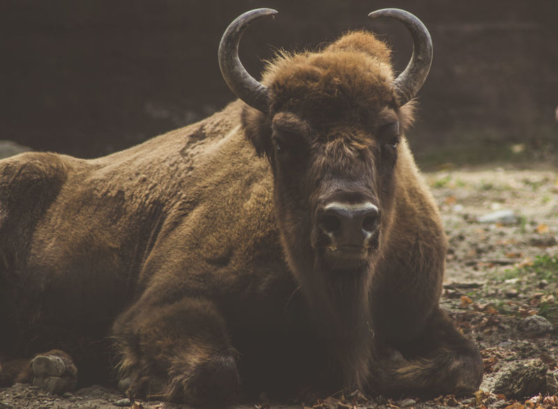 Animal Animal Themes Bison Close-up Day Domestic Animals Horned Kerber Looking At Camera Mammal Nature Nature Photography Nature_collection Naturelovers No People One Animal Outdoors Portrait