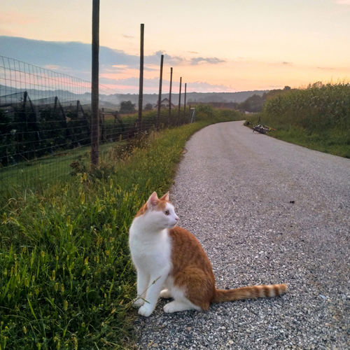 Cat on road amidst field against sky