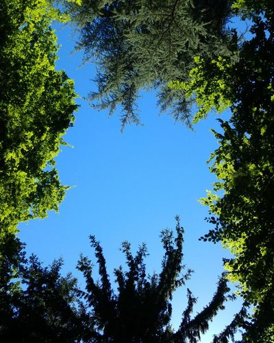Tree Low Angle View Nature Green Color Blue Sky Growth Branch No People Day Outdoors Forest Beauty In Nature Clear Sky Freshness