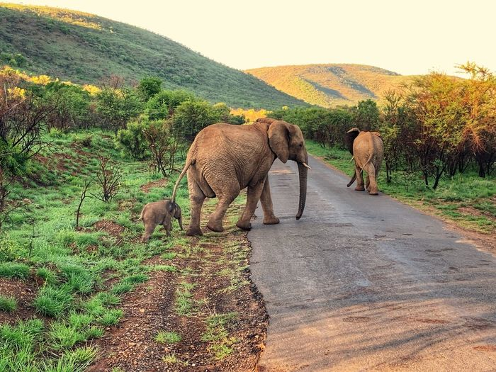 African Elephant calf African Elephant Animal Themes Mammal Animal Plant Animals In The Wild Animal Wildlife Nature Sunlight Landscape No People Outdoors