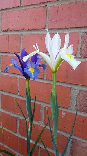 Iris... Flower