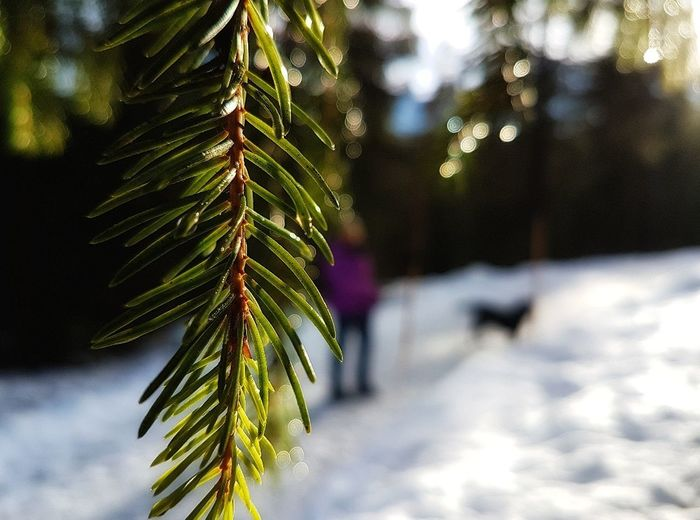 sunshine walk in snow EyeEm EyeEm Best Shots EyeEm Nature Lover Snowwalk Ambiance Calmness Of Nature EyeEm Gallery Christmas Pinaceae Christmas Tree Tree Celebration Pine Tree Tradition Outdoors Winter Snow Holiday - Event Day Nature Close-up Beauty In Nature