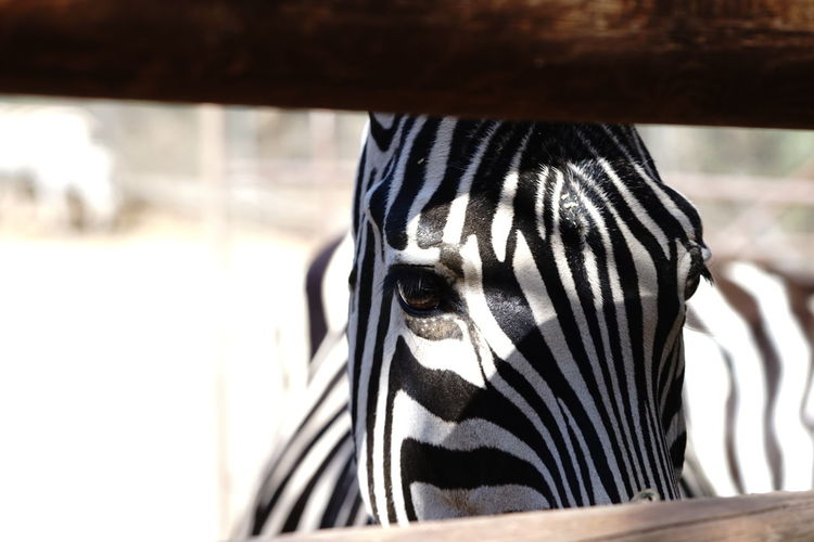 Close-up portrait of zebra at zoo