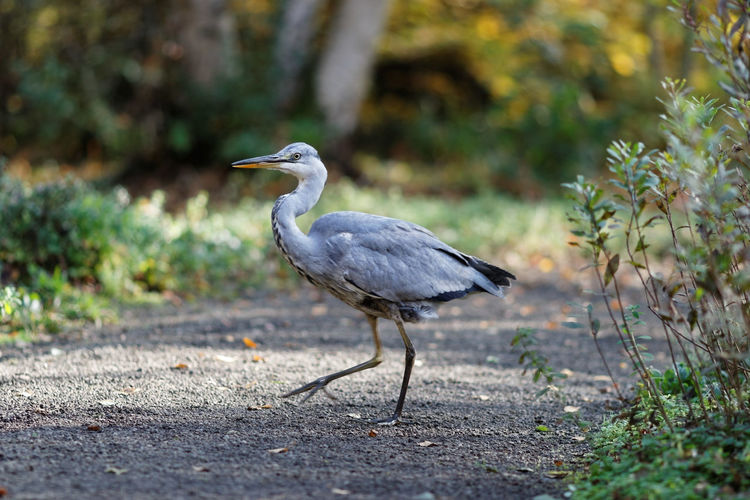 Heron Crossing My Way ON MY KNEES