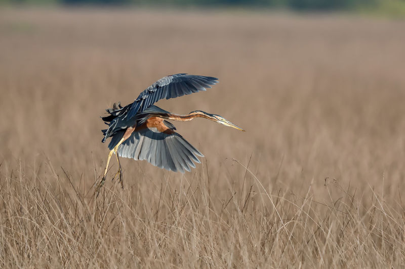 Heron flying over dried plant on field