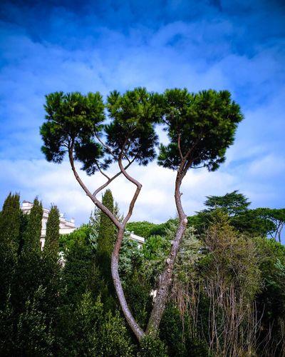 Tree Rome Sky Blue ShotOniPhone6 Makemoments Moment Lens Momenttele