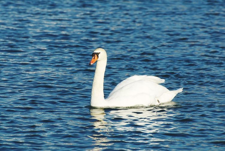 Swan Water Animal Wildlife Animals In The Wild Animal Themes Animal Bird Vertebrate Swimming Waterfront Swan One Animal Mute Swan Water Bird Lake Day No People Nature Zoology White Color Floating On Water