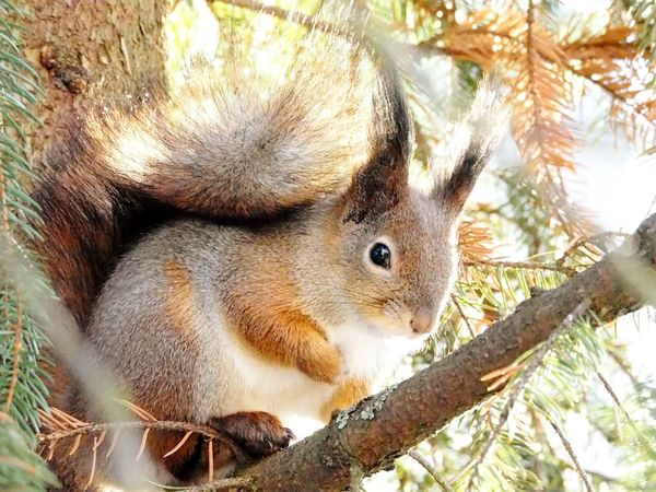 Animal Themes Tree One Animal Animals In The Wild Nature No People Branch Day Outdoors Mammal Close-up Squirrel On Branch Squirrel Closeup Winter Nature Outside Tree Animals In The Wild Nature Beautiful Nature Animal Wildlife