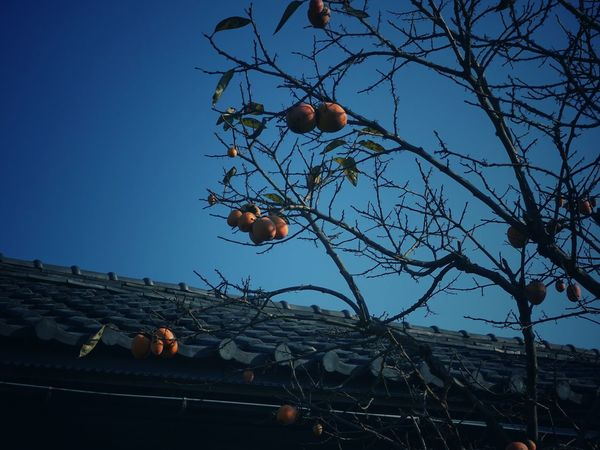 Persimmon Roof Low Angle View Fruit Tree Branch Clear Sky Sky Beauty In Nature Autumn Japan