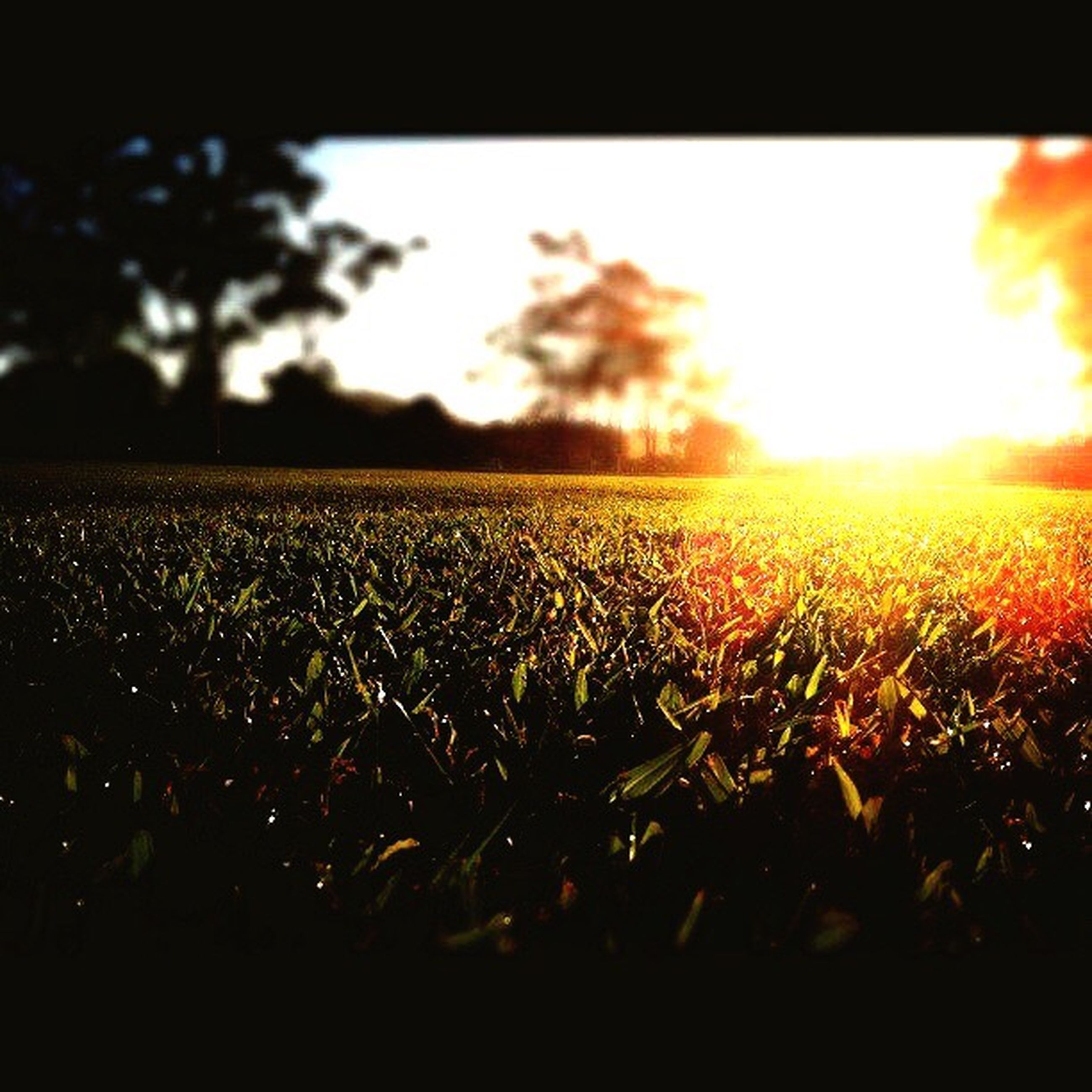 field, sunset, tranquil scene, growth, landscape, tree, tranquility, scenics, sun, sunlight, rural scene, beauty in nature, plant, nature, crop, sky, agriculture, farm, lens flare, green color, selective focus, sunbeam, surface level, cultivated land, plantation, outdoors, bright, backlit, no people, grass area