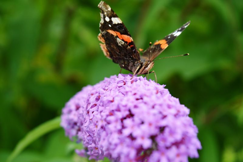 Purple Pollination Plant Petal Perching Outdoors One Animal No People Nature Insect Growth Full Length Freshness Fragility Focus On Foreground Flower Head Flower Day Close-up Butterfly - Insect Beauty In Nature Animals In The Wild Animal Wildlife Animal Themes