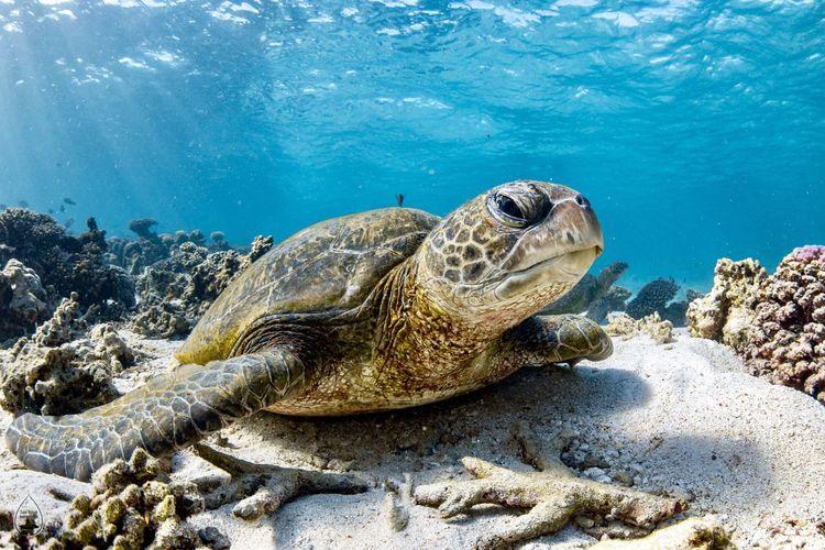 Close-up portrait of sea turtle swimming underwater