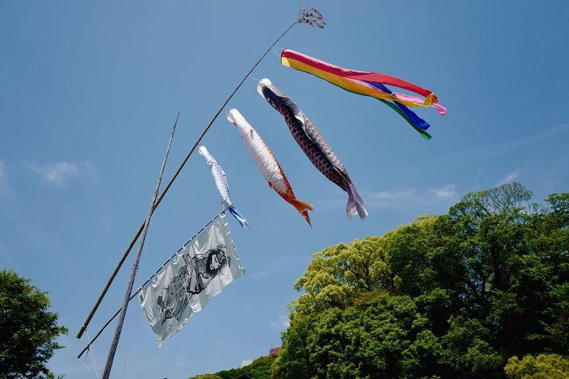 """半分青い ( Hanbunn aoi / Half blue ) : Nagasaki Style """"Koinobori"""" LEICA Q 28mm Manual F/2.0 No filter handheld 5, May 2018. Music inspired """"Idea"""" Gen Hoshino >> https://www.youtube.com/watch?v=Z1iq-638UBI de Today is another day 半分、青い。 Nagasaki Today Lookingup こどもの日 Today's Weather Report 鯉のぼり 和華蘭(Nagasaki Culture) Flying Koinobori Tree Sky Plant Nature No People Multi Colored Celebration Hanging Animal Representation Art And Craft Event Streamer"""