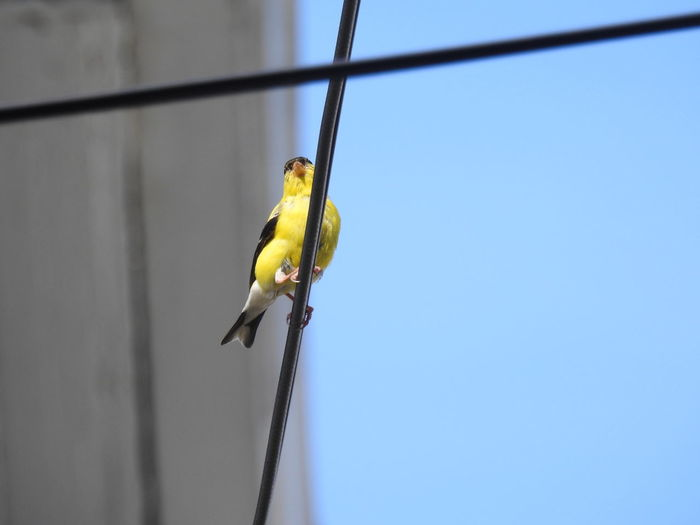 American Goldfinch on a wire Goldfinch American Goldfinch Bird On A Wire Yellow Bird Yellow Blue Sky Bird Watching Birding Bird Photography Animals In The Wild Wildlife & Nature Wildlife Wildlife Photography Ornithology  Bird Perching Hanging Blue Full Length Animal Themes Sky Close-up Songbird