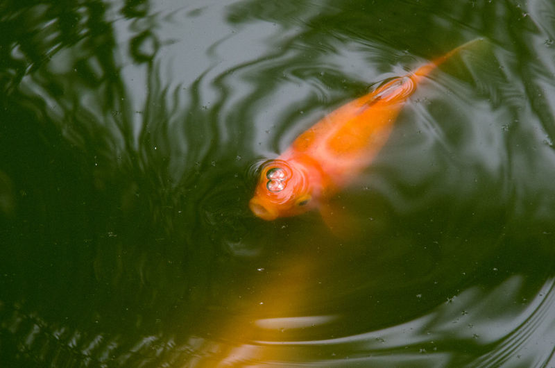 Close-Up Of Goldfish Swimming In Water