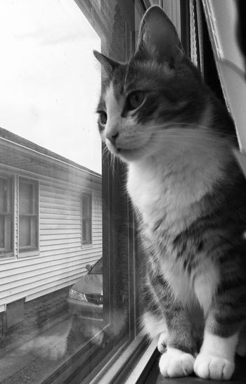 Pets Animal Themes Domestic Animal One Animal Domestic Animals Domestic Cat Cat Window Mammal Feline Looking Sitting Indoors  Whisker Glass - Material Looking Through Window