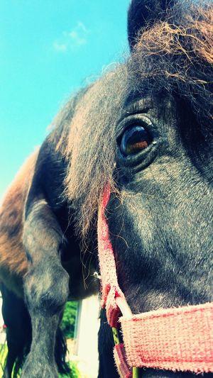 Little Horse Poney Pony Cute Mignon