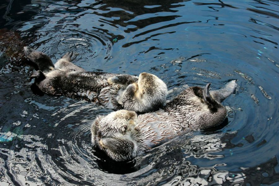 Animals In The Wild Animal Themes Water Swimming Animal Wildlife Nature No People Sea Life Underwater Sea Outdoors Beauty In Nature Day Close-up UnderSea Best EyeEm Shot VSCO EyeEm Gallery EyeEm Taking Photos Lisbon - Portugal Otters Sommergefühle
