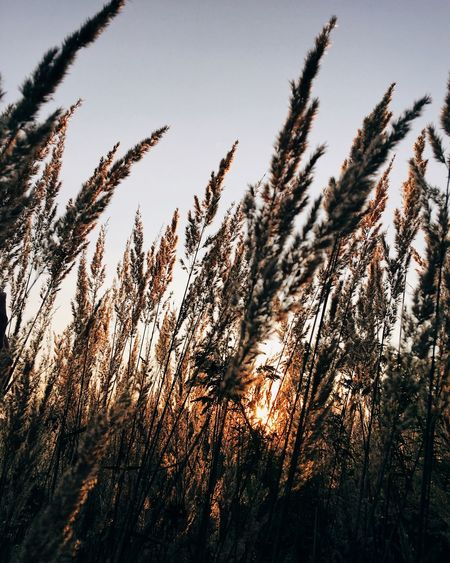 Sunset in the field Golden Hour Golden Plant Growth Sky Tranquility Beauty In Nature Nature Tree No People Sunset Field Land Low Angle View Silhouette Outdoors Sunlight Tranquil Scene Close-up Environment Non-urban Scene Day
