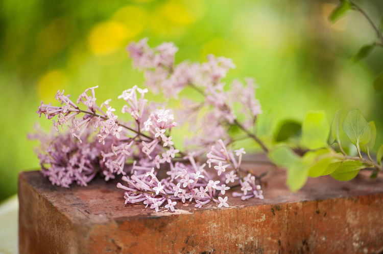 Beauty In Nature Close-up Day Flower Flower Head Fragility Freshness Green Color Growth Lilac Nature No People Outdoors Petal Pink Color Plant Purple Syringa