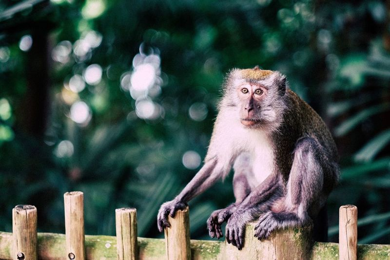 Alert Monkey Looking Away On Wooden Fence