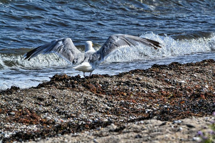 Animal Wildlife Beach Bird Fehmarn Island Iamnewhere Seagull Stones Water Waves EyeEmNewHere