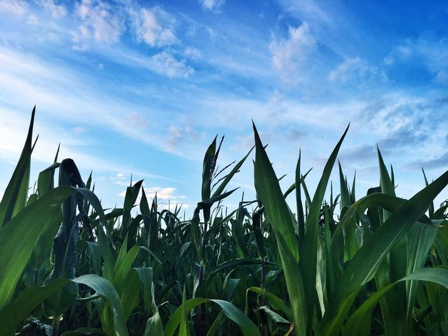 Cornfield Growth Crop  Rural Scene Field Farm Sky Plant Tranquility Blue Corn - Crop Nature Cornfield And Sky
