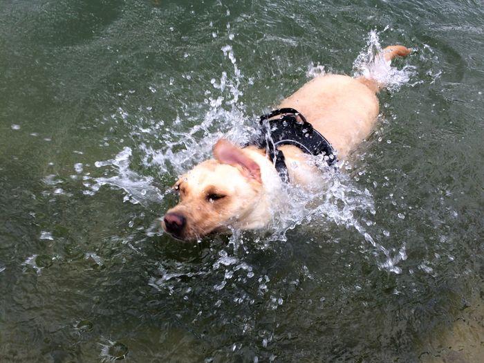Dog Water Swimming Labrador Labrador Retriever Water Games💦 Ilikeitwet