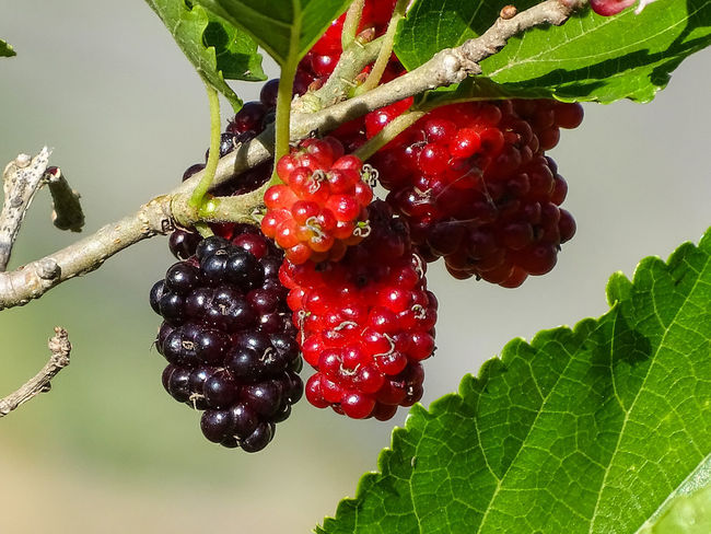 ezefer Fruit Food And Drink Healthy Eating Food Plant Part Leaf Red Berry Fruit Freshness Plant Growth Close-up Nature Wellbeing No People Green Color Ripe Focus On Foreground Tree Day Outdoors Red Currant