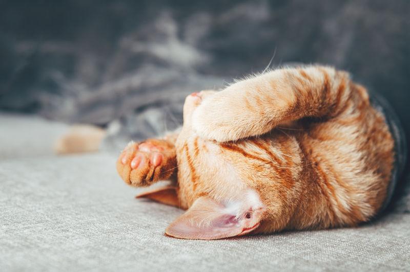 Cute little ginger kitten sleeps on the sofa under grey soft blanket