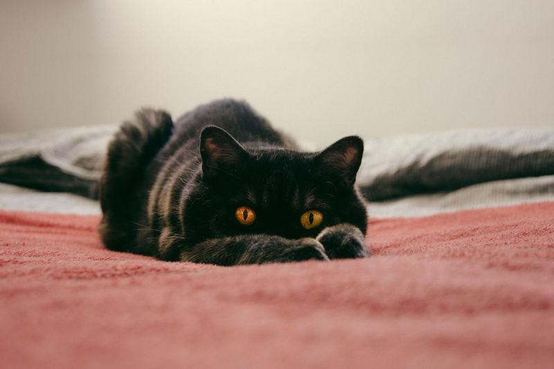 Portrait Of Black Cat On Bed At Home