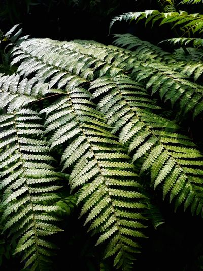 Ferns in rainforest are bright green. Fern Leaf Close-up Green Color Frond Palm Leaf Palm Frond Palm Tree Date Palm Tree Tropical Tree Tropical Climate Coconut Palm Tree Lush - Description Pinaceae Pine Tree Pine Woodland Green Needle - Plant Part Leaves Greenery Pine Cone Woods