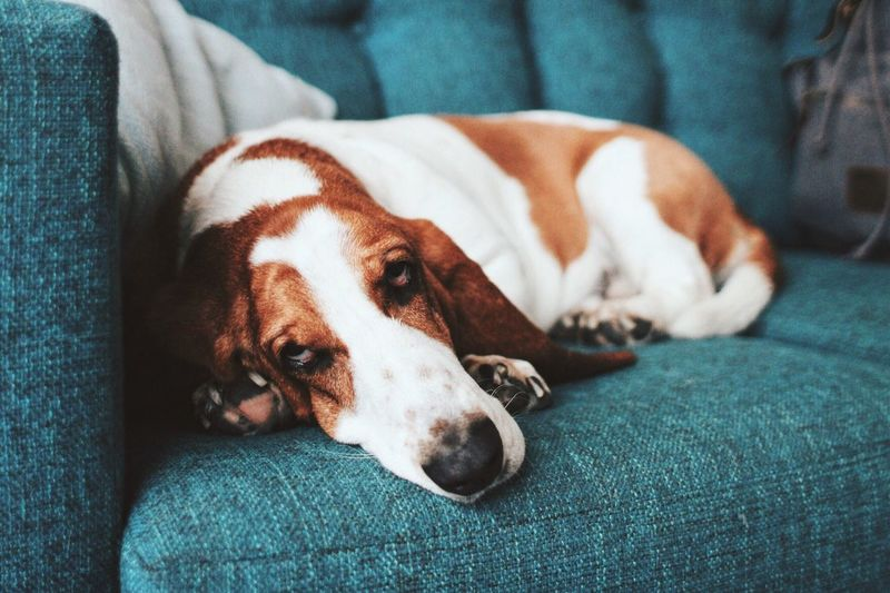 Close-up of dog resting on sofa at home