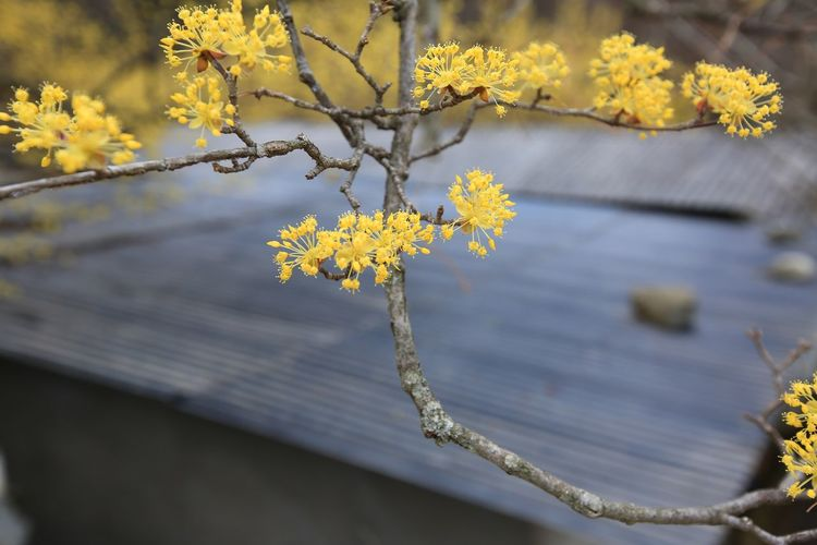 Plant Beauty In Nature Tree Growth Nature Day No People Outdoors Tranquility EyeEm Nature Lover Freshness Flower Spring Flowering Plant Branch Focus On Foreground Vulnerability  Fragility Close-up Yellow Selective Focus Springtime Flower Head Cherry Blossom Yellow Flower