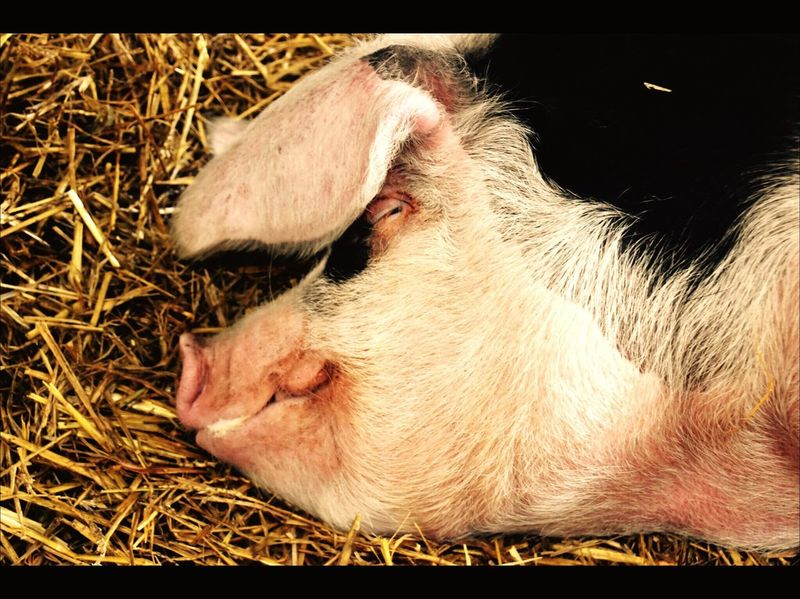 Just chilling Pig snort Happy Time Happyness Lying Down Sleeping Straw Pig Head