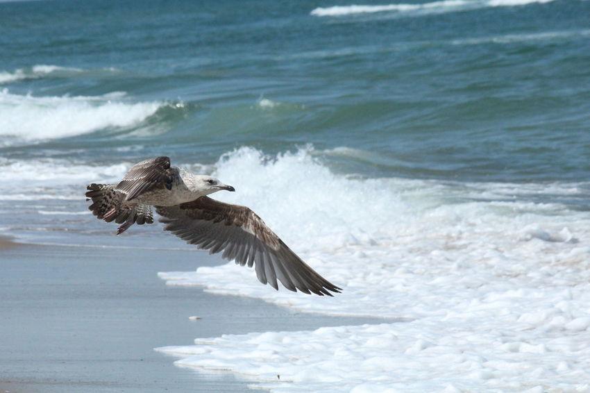 Bird flying on the beach in Duck, NC Atlantic Ocean Bird Bird Flying Duck, NC Flying Nature North Carolina OBX OBX North Carolina Ocean Outdoors Outer Banks, NC Sea Bird Spread Wings Water Wildlife