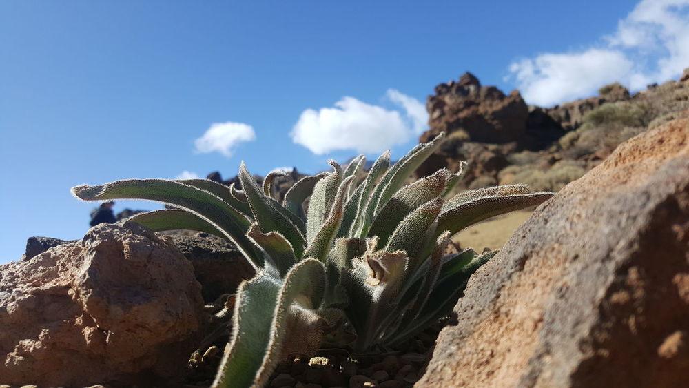 Plant Nature Europe Tenerife Tenerife Island SPAIN Green Landscape Heaven Cloudy