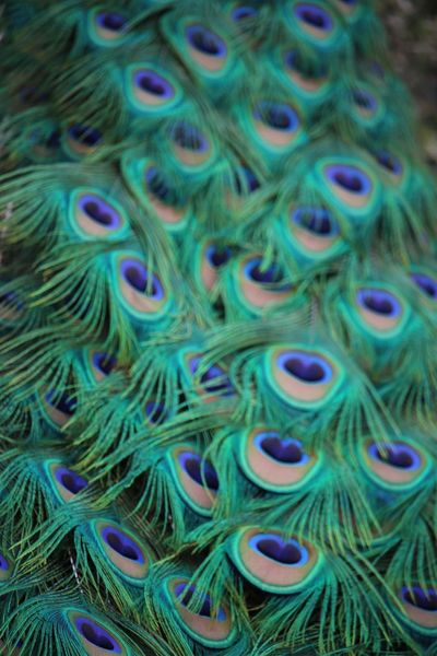 Backgrounds Full Frame Multi Colored Pattern Close-up Textured  No People Beauty In Nature Day Outdoors Animal Themes Nature Scenics Dubai❤ Peacock Feather Peacock Colors
