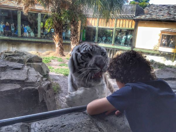 The Tourist Tiger White Tiger Vacations Close Encounters The Week On Eyem Busch Gardens Chance Encounters