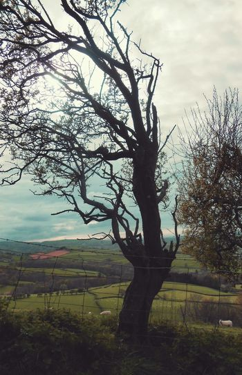 An Old Tree between Newtown Powys & Kerry ... Trees Wales Powys Vista Hills Sheep Landscape