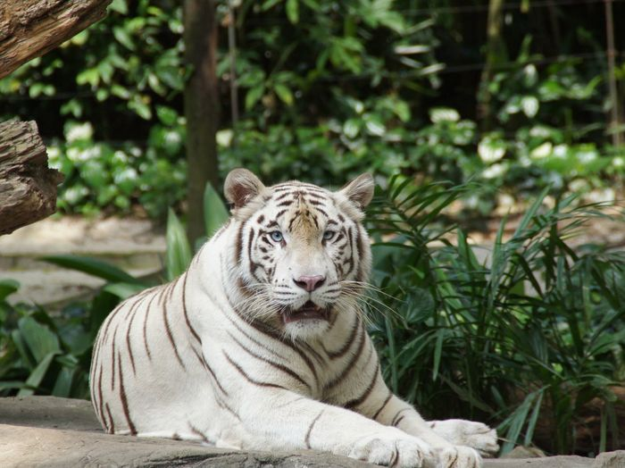 Alert white tiger looking away