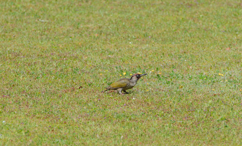European green woodpecker in the food search on a meadow European  Food Search Red Head Wild Animal Wood Animal Bird Earth Woodpecker Garden Grass Woodpecker Green Woodpecker Grey-headed Woodpecker Meadow Nature Picus Viridis Woodpecker