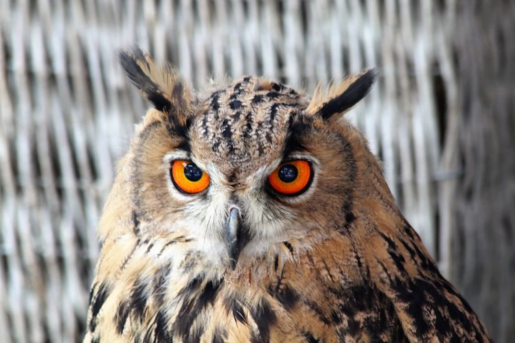 Animal Themes Animal Wildlife Animals In The Wild Beauty In Nature Bird Bird Of Prey Close-up Day Looking At Camera Mammal Nature No People Oehoe One Animal Outdoors Owl Owl Eyes Owl Photography Portrait See What I See Walking Around Taking Pictures Wink Wink Wink ;)  Winking