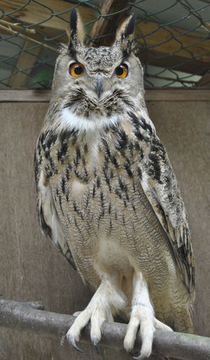 Sage the Turkmanian Eagle Owl Eagle Owl  Sitting Full Length Bird Bird Of Prey Looking At Camera No People One Animal Owl Perching Talons