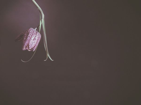 Beautiful Beauty In Nature Close-up Copy Space Especially Flower Flower Head Flowers Fragility Freshness Hanging Nature No People Noble Still Life Studio Shot Tender