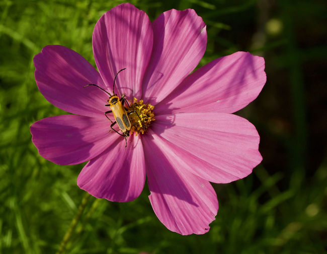 Close-up of bee on pink cosmos flower blooming outdoors