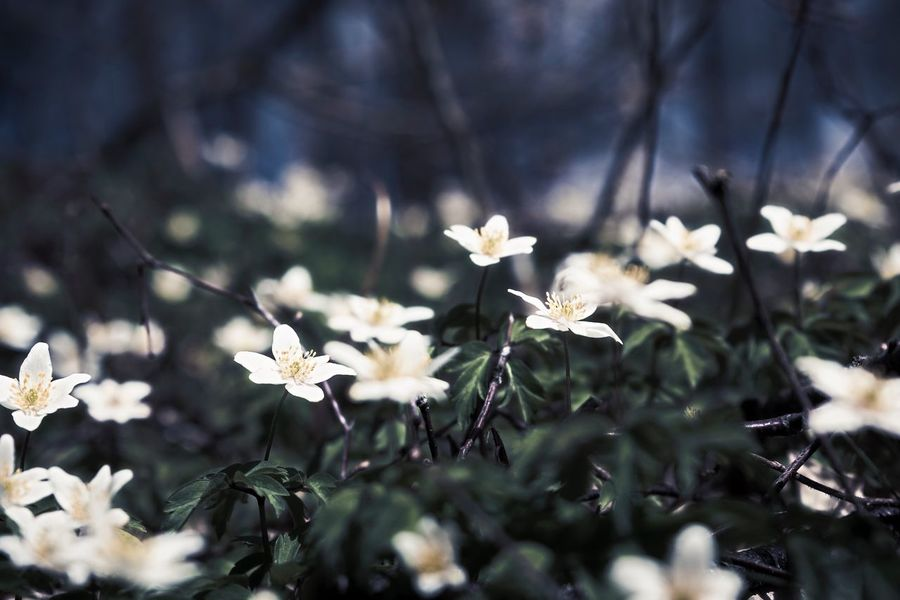 wood anemone - Flower Growth Fragility Nature White Color Beauty In Nature Petal No People Day Freshness Outdoors Plant Close-up Blooming Flower Head Stamen EyeEm Best Edits Wood Anemone EyeEmNewHere Selective Focus Drastic Edit Exceptional Photographs Hello World EyeEm Masterclass Flowers