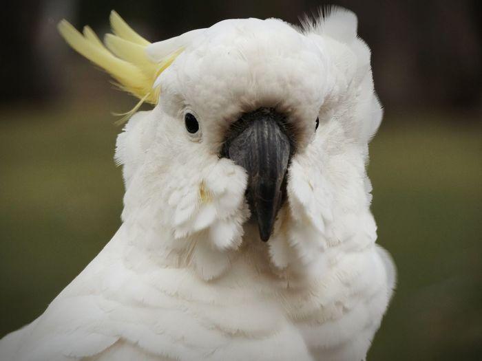 Close-up portrait of cockatoo