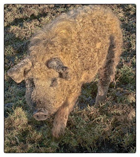 curly Animal Themes Day Mammal Mangalitsa Nature No People Outdoors Pig Sunlight